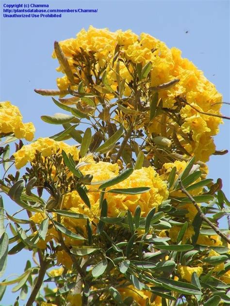 PlantFiles Pictures: Caribbean Trumpet Tree, Yellow