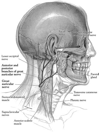 Great Auricular Nerve: Anatomy and Imaging in a Case of